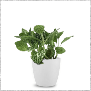 Fittonia Plant with pot near me - indoor plants online