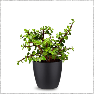 Lucky Jade Plant with Pot- lucky plants - small house plants