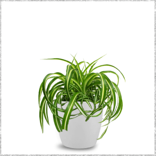 Spider Plant - air purifying plants With Pot - Indoor plants