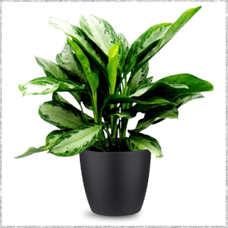 Aglaonema Green Plant with Pot Online - air purifying plants