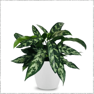 Morningvale Aglaonema Plant with Pot Onine - air purifying plants