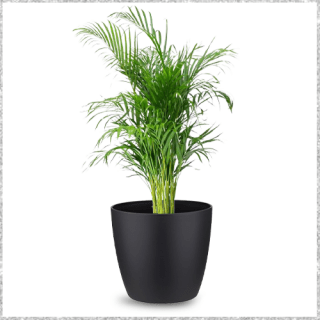 Areca Palm plant with Pot - best air purifying plants Online