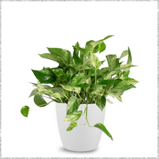 Marble Money Plant with Pot Online In Mumbai