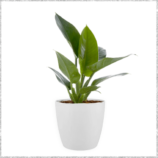philodendron ceylon gold plant with pot Online In Mumbai