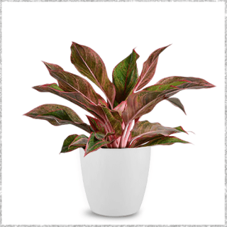 Aglaonema Red Lipstick Plant with Plastic Pot - indoor plants for living room