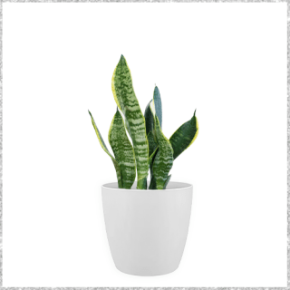 Silver Queen Snake Plant with Pot - low maintenance indoor plants