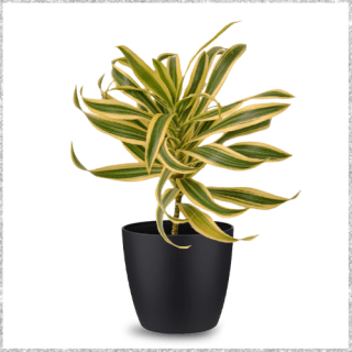 Pleomele with Ceremic Pot - Song of India Plant Online - air purifying plants