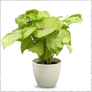 Syngonium Green Plant with Pot Online