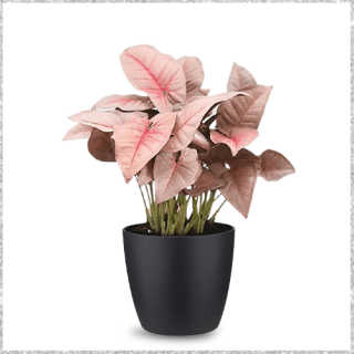 Beautiful Syngonium Pink Plant with Pot Online