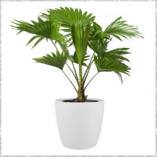 Green Table top palm with Pot - Umbrella Palm Online