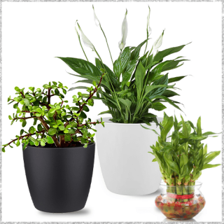 Bunch of Peace lily plant, Lucky bamboo plant, Jade plant online