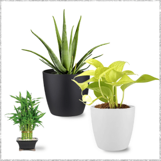 Combo of Golden money plant, Lucky bamboo plant, Aloe Vera plant Online with Pot